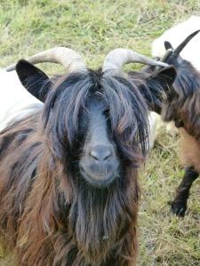 goat-61094_640[1]