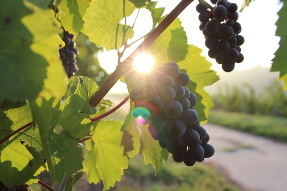 grapes-984493_960_720